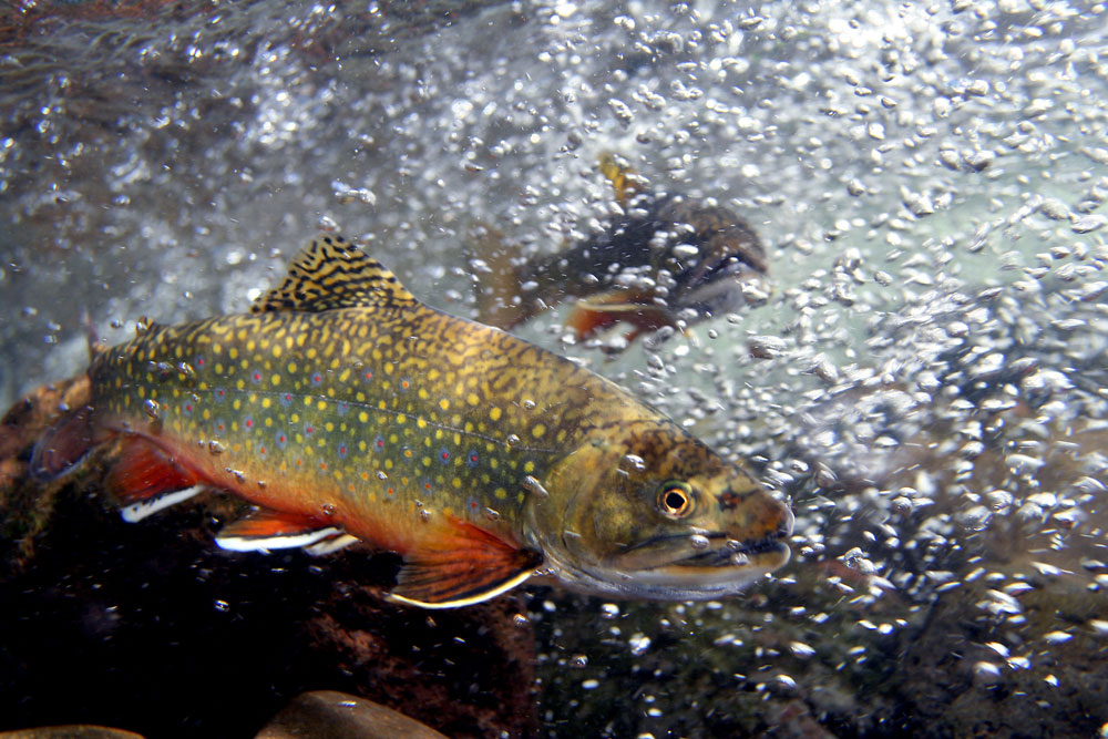 Algonquin Park Brook Trout Populations Threatened ... - photo#29